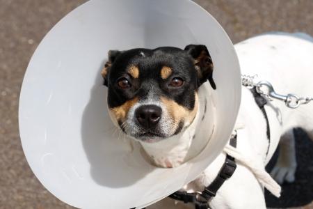 Piccolo cane indossa un cono dopo chirurgia Archivio Fotografico