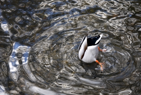 Black and white duck feeding upside down in water photo