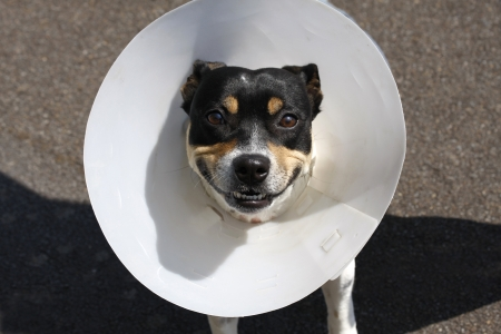 Small smiling dog wearing a cone after surgery