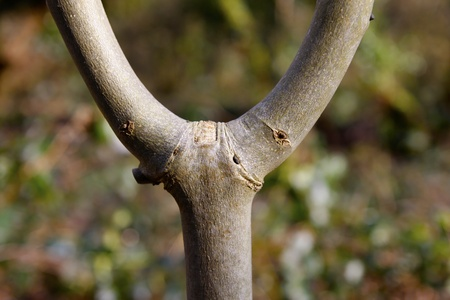 y shaped: Branches of an ash tree joining the trunk