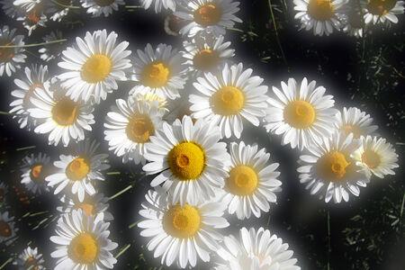 defocussed: Summer daisies with soft focus light bleed