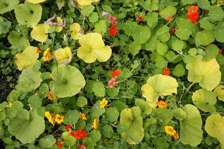 Colourful orange and yellow Nasturtium flowers, top down photograph
