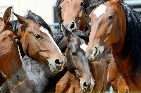 caballo: Caballos  Foto de archivo