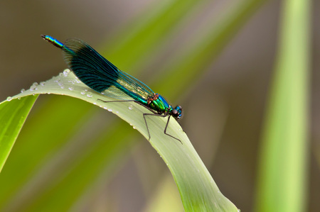 damsel: demoiselle damselfly in natural habbitat Stock Photo