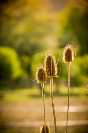 Dried thistle standing backlit in the sun, warm sunny day, green trees in the background.