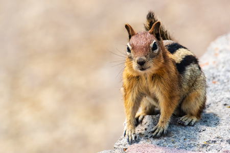Chipmunk sitting on stone ledge, looking to camera, almost smiling. Reklamní fotografie