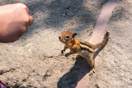 Feeding nuts to Chipmunk by hand, standing up, smelling.