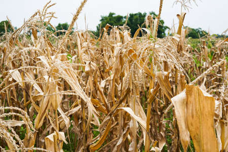Withered corn stalks in the farmland