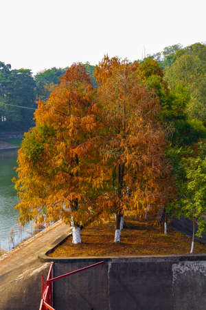 Red maple tree forest by the water in autumn, autumn scenery