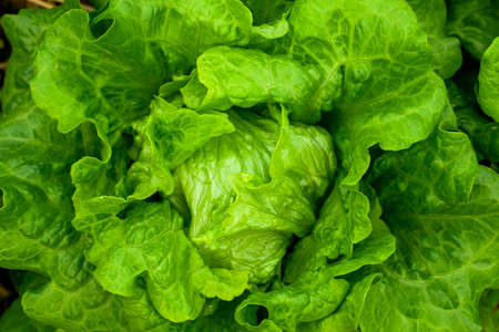 Closeup of rows of lettuce growing in the field