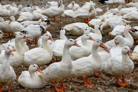 A large group of white-haired ducks in the duck farm