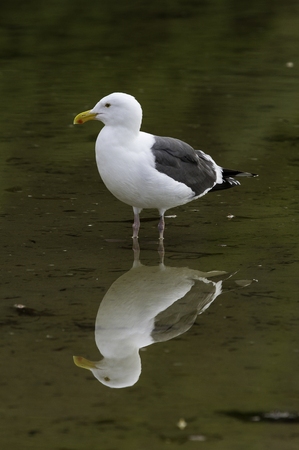 Seagull Reflection Stock Photo