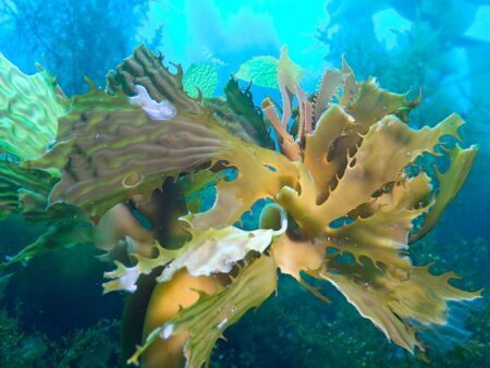 Bull Kelp Stock Photo