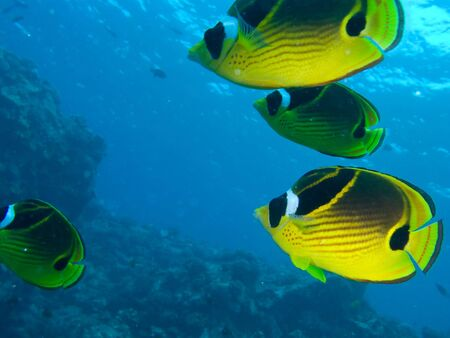 reef fish: Four fish swimming against reef