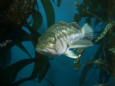 alga marina: portarretrato de bajo escondido en los bosques de algas  Foto de archivo