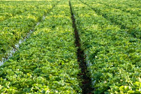 sripes: Rows of strawberry plants Stock Photo