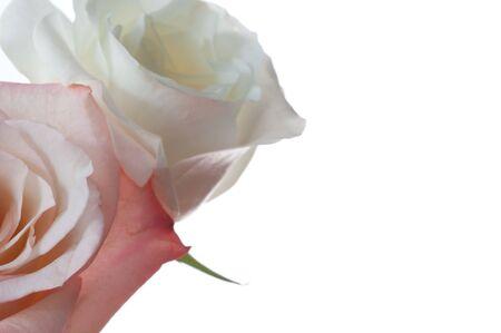 白い背景に対して隔離される 2 つのバラのトリミングされた画像