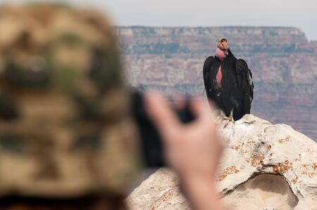 Person taking photo of one of the famous Grand Canyon condors Stock Photo
