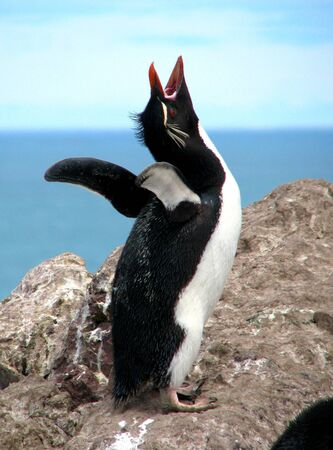 flagging: Southern Rockhopper Penguin singing his love song Stock Photo