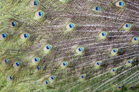 Peacock Feathers Фото со стока - 3126872