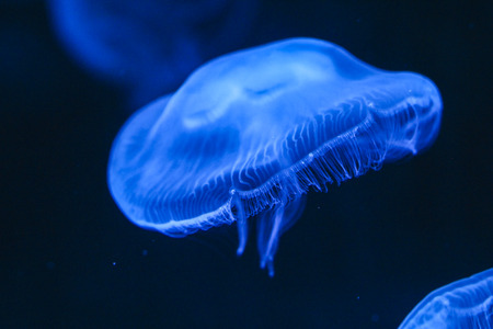 Jellyfish swimming under blue light