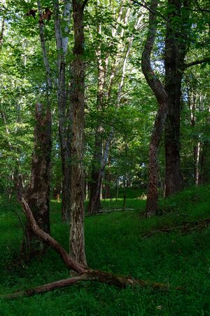 Trees and clearing in a green wooded forest