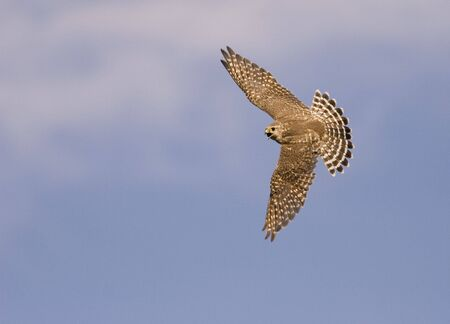 A merlin falcon in flight
