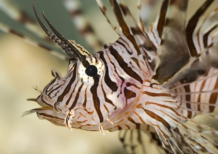 Lion fish with clown fish tail from mouth photo