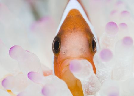Face of a clown fish photo