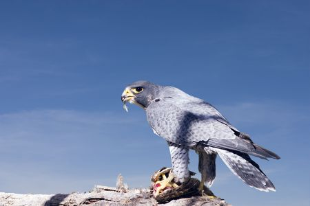 Falcon eating his meal