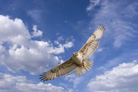 merlin: Large hawk in flight