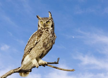 Great horned owl with sky background photo