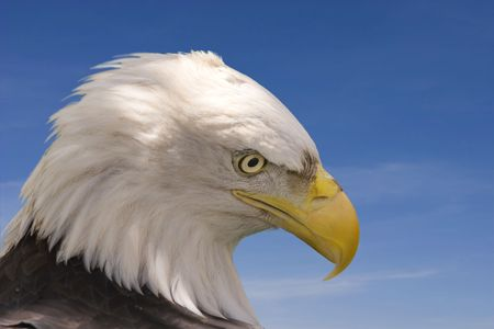 Bald eagle with blue sky background