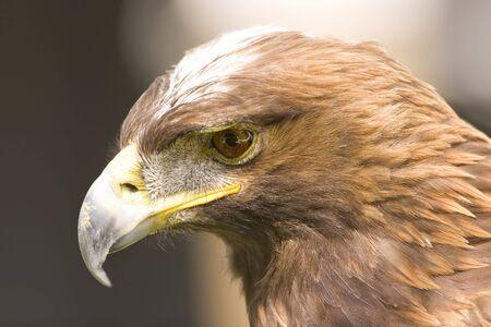 golden eagle: Golden Eagle Portr�t