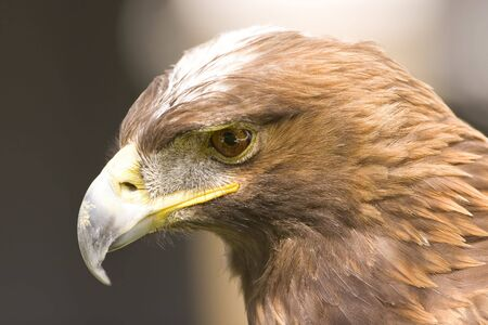 aigle royal: Golden Eagle portrait