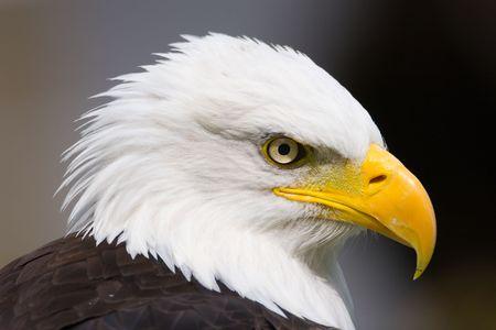 aigle: Aigle américain close-up