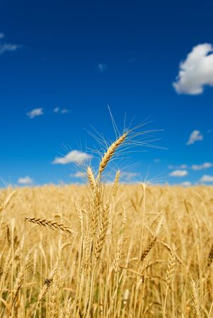Wheat field and blue sky, shallow depth of field.