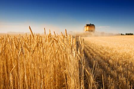 espiga de trigo: Una cosechadora trabaja en un campo de trigo, (centrarse en primera fila de trigo)