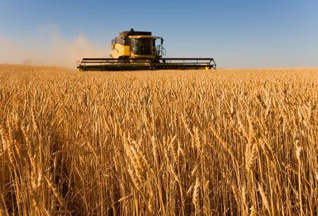 cosechadora: Cosechadora trabajando en un campo de trigo, (centrarse en la primera fila de trigo)