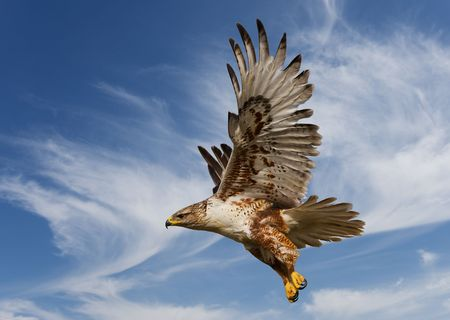 Large Ferruginous Hawk in flight with blue sky background photo