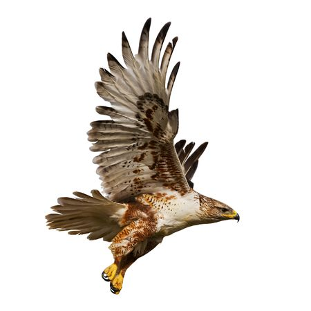halcón: Large Hawk en vuelo aislado sobre un fondo blanco  Foto de archivo