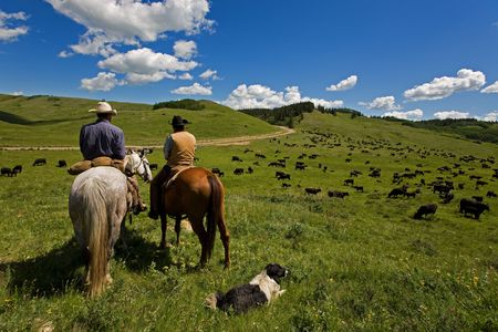 working cowboy: Two cowboys and there dog working with a large herd of cattle