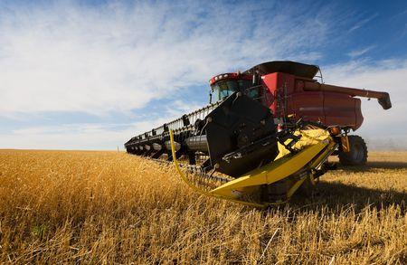 cosechadora: Una cosechadora de trabajo un campo de trigo