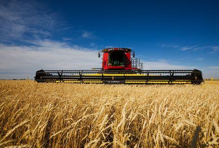 cosechadora: moderna cosechadora de trabajo un campo de trigo