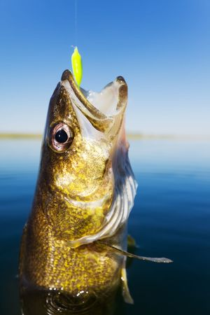 walleye: Close up shot of a walleye being caught Stock Photo