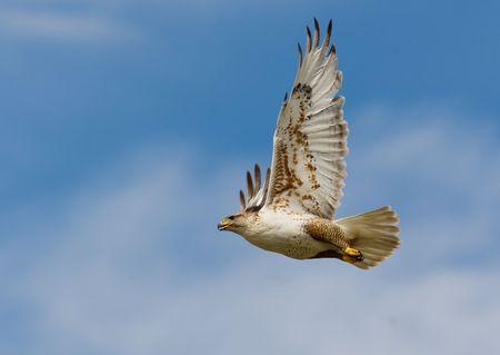Large Ferruginous Hawk in flight with blue sky  Stock Photo - 5083082