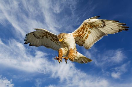 Large Ferruginous Hawk in attack mode with blue sky  photo