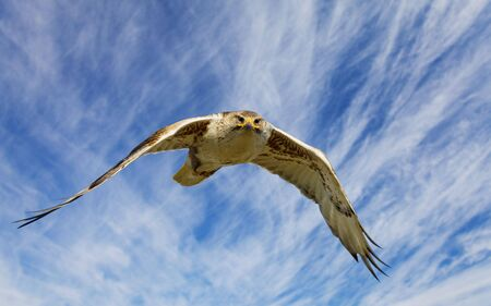A large hawk in flight staring at the camera  Stock Photo - 5222186