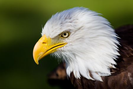 eagle feather: High resolution bald eagle portrait Stock Photo