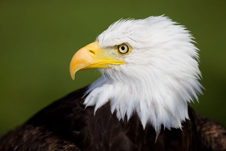 High resolution bald eagle portrait on a green background photo